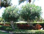 oleander-tree